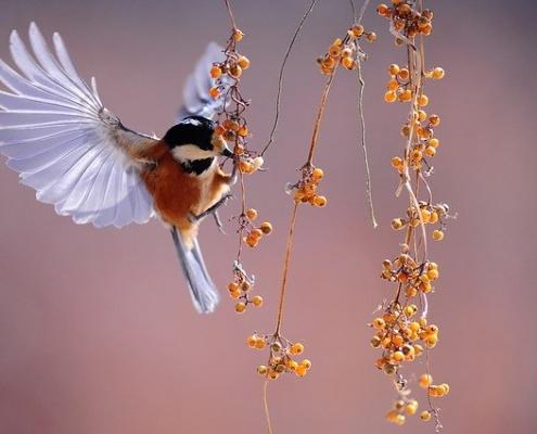 fan d'oiseaux
